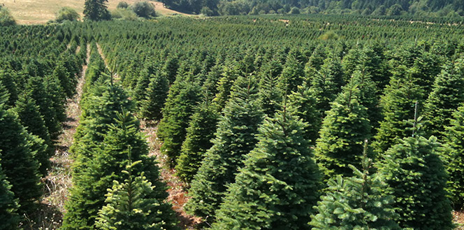 Buckelew Farm Christmas Trees - Fresh Trees from Oregon